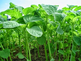 Snapshot_2017-1-19_9-30-31-4 Menanam Bayam Cabut pekarangan organik menanam bayam downy mildew bayam cabut bayam