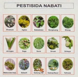 Snapshot_2017-1-19_9-30-31-5 Cara Kerja Pestisida Nabati pestisida nabati pestisida padi organik mimba cara kerja pestisida nabati bengkoang
