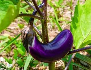 Snapshot_2017-1-19_9-30-31 Bertanam Terung terung terong pertanian pekarangan organik budidaya terung bertanam terong