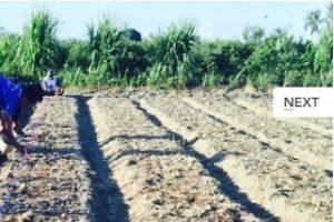 Snapshot_2017-1-19_9-30-31-300x200 Menanam Bawang Merah pekarangan menanam bawang merah manfaat pekarangan hortikultura budidaya bawang merah