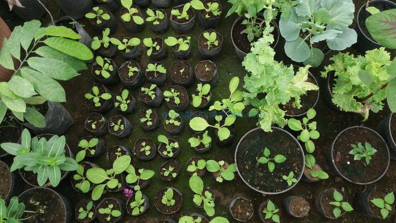 photo_2017-03-27_12-00-20 Jadwal Pemupukan Tanaman Pekarangan tomat timun pemanfaatan pekarangan pekarangan kacang panjang caberawit bunga kol buncis bawang merah