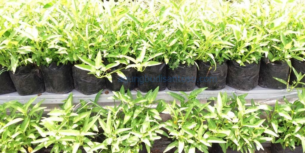 20170403_133252 Jadwal Pemupukan Tanaman Pekarangan tomat timun pemanfaatan pekarangan pekarangan kacang panjang caberawit bunga kol buncis bawang merah
