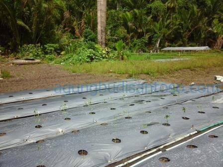 mulsa-plastik Menanam Cabai di Pekarangan pekarangan manfaat pekarangan mananam cabai cabe cabai
