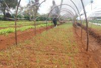 persemaian benih bawang merah