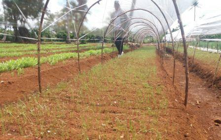 06 Cara menyemai benih bawang merah persemaian pekarangan bawang merah