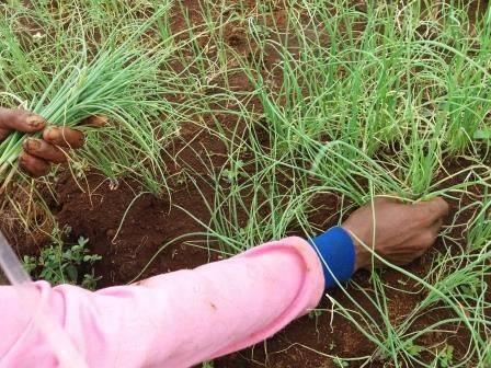 07 Alat yang Memudahkan Proses Penanaman Bawang Merah TSS pekarangan fungisida bawang merah