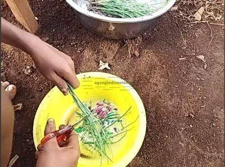08 Alat yang Memudahkan Proses Penanaman Bawang Merah TSS pekarangan fungisida bawang merah