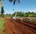 photo_2018-05-03_10-50-48-140x130 Pengolahan lahan mencegah penyakit tanaman sayuran pengolahan lahan pekarangan cabai bawnag merah