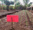tanam-bawang-merah-140x130 Alat yang Memudahkan Proses Penanaman Bawang Merah TSS pekarangan fungisida bawang merah