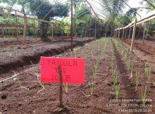 tanam-bawang-merah-220x162 Alat yang Memudahkan Proses Penanaman Bawang Merah TSS pekarangan fungisida bawang merah