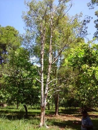 20151201_112056 Memulihkan keadaan tanaman perkebunan pasca panen dengan pemupukan pupuk perkebunan pala cengkeh